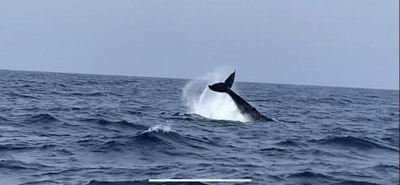 水面で遊ぶクジラ達!!