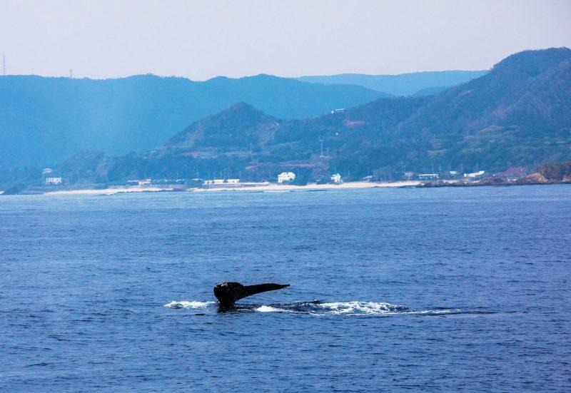出港後約10分でクジラ発見!!