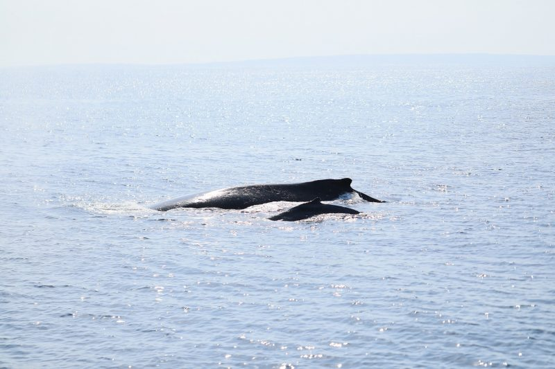 親子クジラに遭遇!!