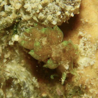 ウテンミノウミウシ