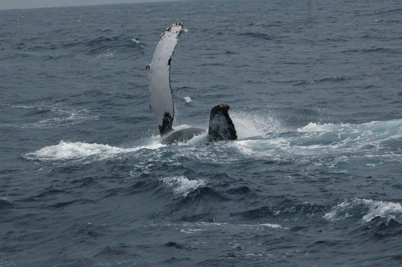 ザトウクジラの「ペックスラップ」