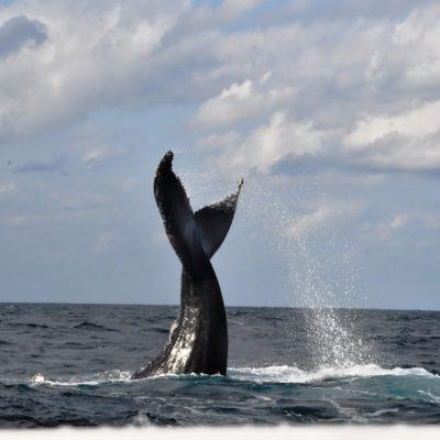 ザトウクジラの「テールスラップ」