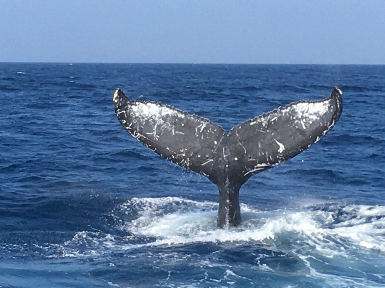 ザトウクジラの「フルークアップ」
