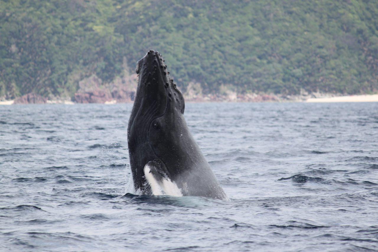 ザトウクジラの「スパイホップ」