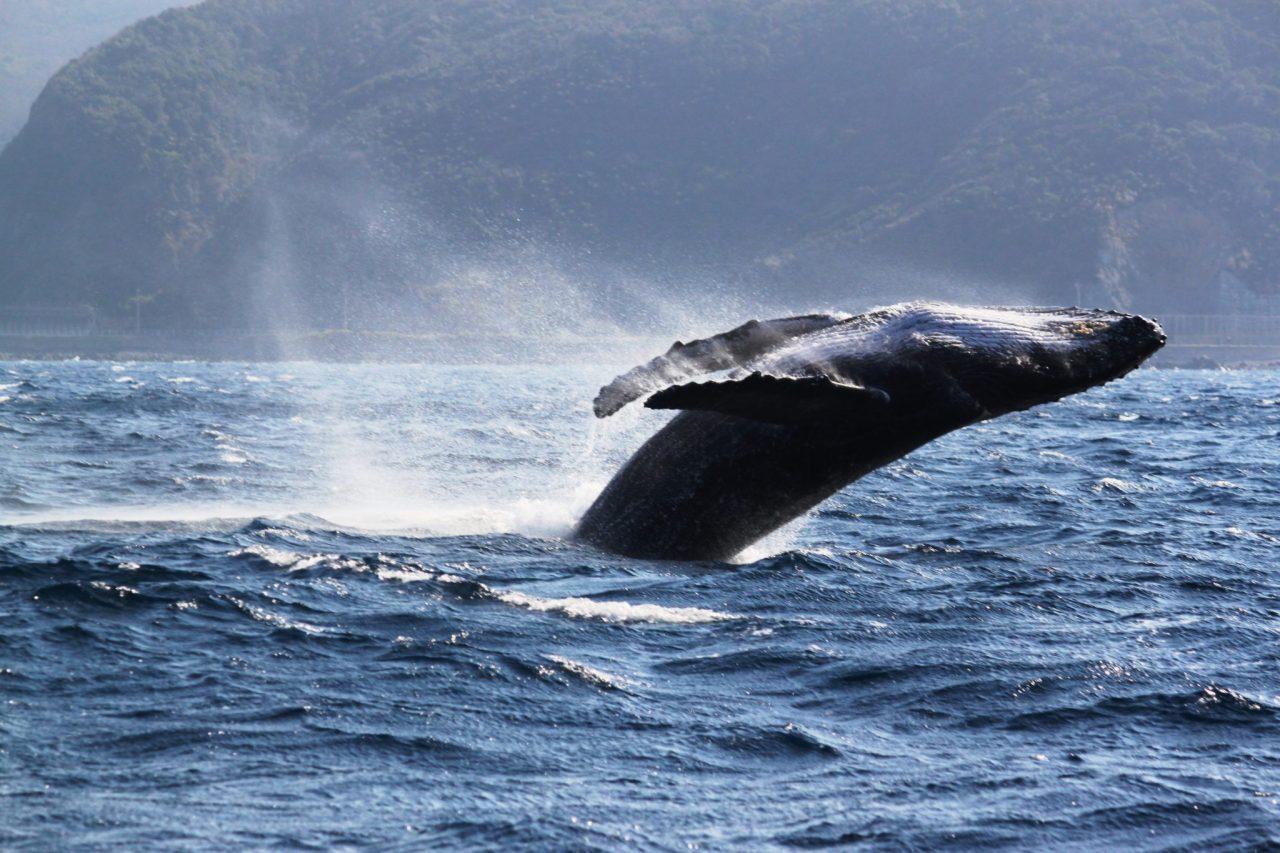 ザトウクジラの「ブリーチ」