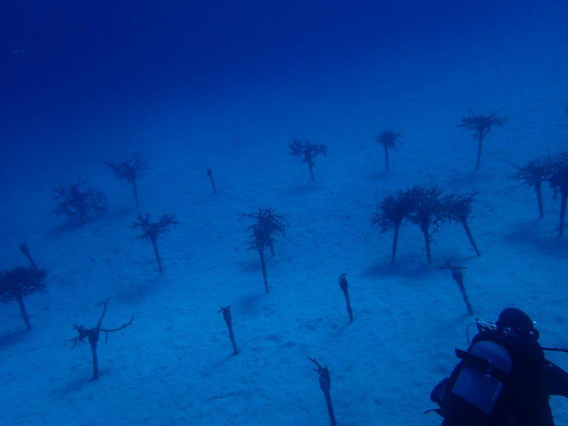 サンゴ植え付け作業